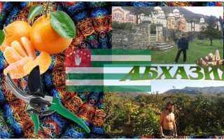 Работа по сбору мандаринов в Абхазии – когда они созревают в этой стране