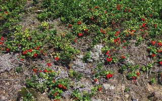 Сбор лесной ягоды на севере Швеции